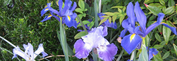 Dutch Iris and Bearded Iris