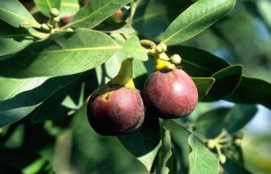 California Bay Laurel with fruit
