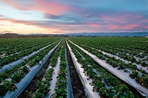 strawberry fields in Watsonville
